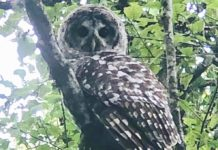 spotted owl, forest, wildlife